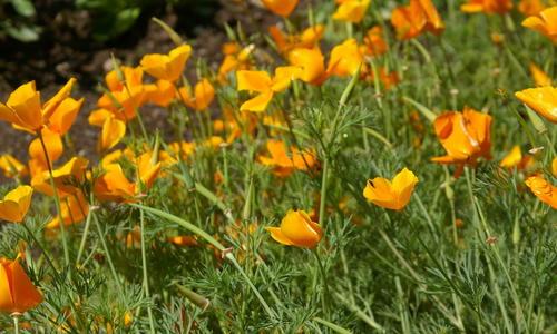 Однолетние цветы семенами в грунт