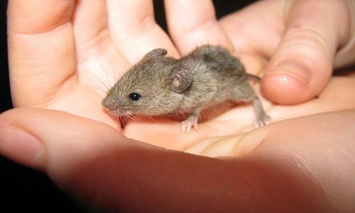 Как отпугнуть крысу из квартиры