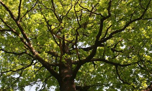 Декоративные деревья с ажурной кроной: обзор, фото