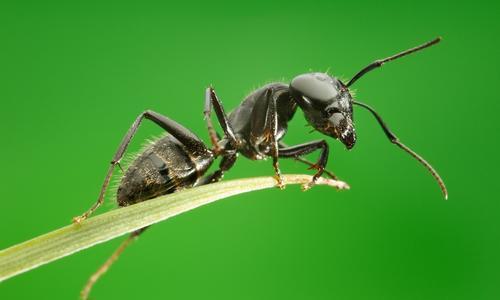 Борьба с муравьями народными средствами на садовом участке и в огороде