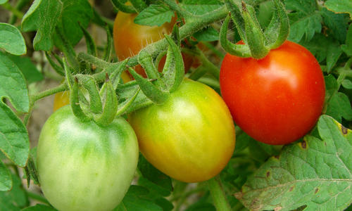 Как сделать, чтобы помидоры быстрее краснели дома: способы дозревания, оптимальные условия хранения