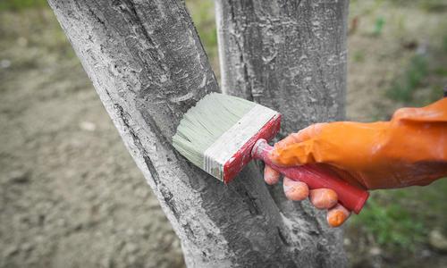 Побелка деревьев весной: как и чем белить деревья