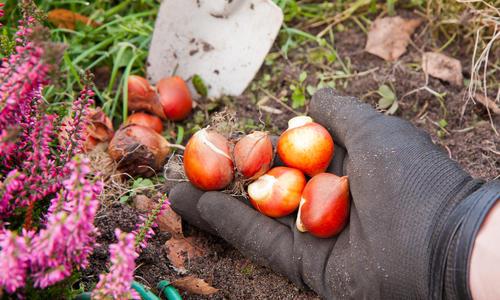 Посадка луковичных осенью: если прошли все сроки