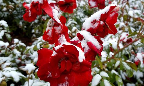 Чем накрыть растения на зиму