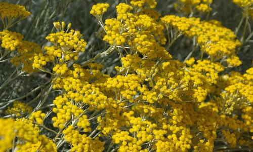Бессмертник цветок садовый луковичный