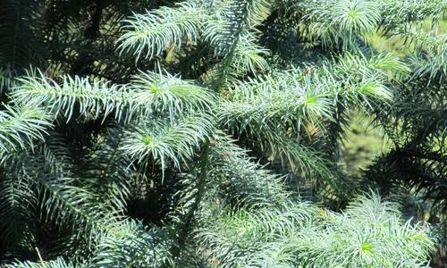 Таксодиум 21 фото описание болотного кипариса двурядного Можно ли сажать листопадное хвойное дерево в Подмосковье и других регионах