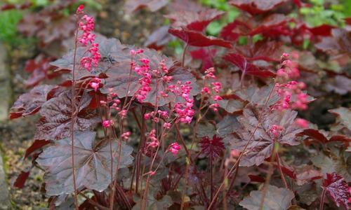 Как называется новогодний цветок с красными листьями — знакомая незнакомка пуансеттия
