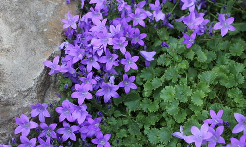 Цветы колокольчики: посадка и уход открытом грунте, виды и сорта колокольчиков с фото и названиями
