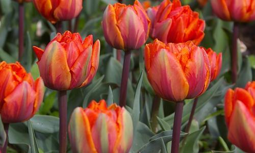 Тюльпаны «Лалибела»: описание сорта и тонкости его выращивания