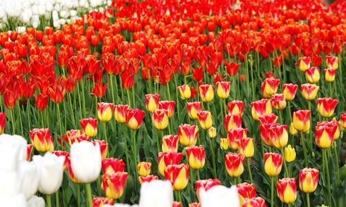 Сорта тюльпанов (66 фото): виды и их названия. Каких цветов бывают тюльпаны{q} Характеристика сортов «Веранди» и «Антарктика»
