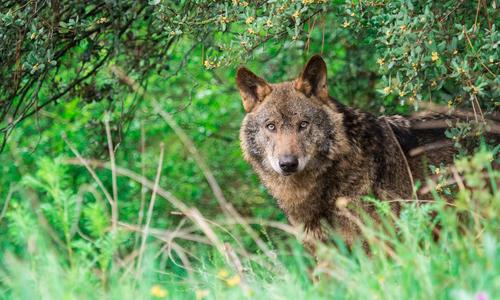 Что делать, если в лесу встретил волка, медведя или лису