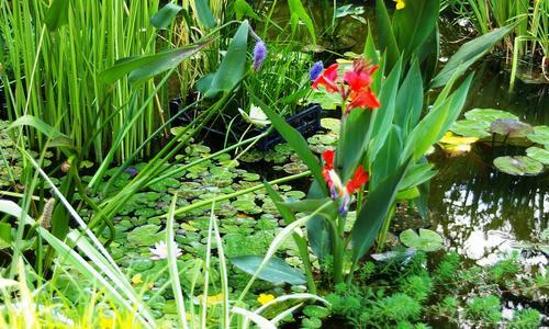 Растения вокруг пруда на даче