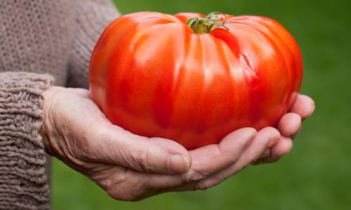 Томат маэстро f1 описание и характеристика крупноплодного сорта с фото
