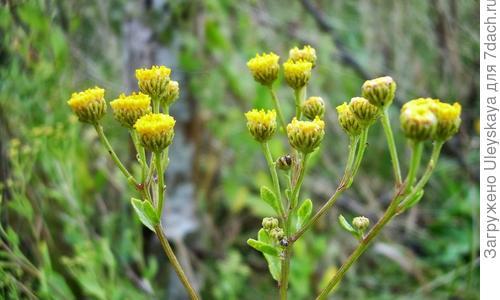 Трава кануфер (канупер): лечебные и полезные свойства, противопоказания