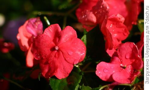 Бальзамин садовый посадка и уход Выращивание из семян в домашних условиях Фото и видео
