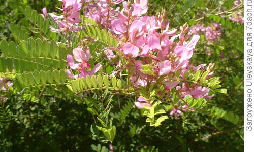 Бобовые мотыльковые растения