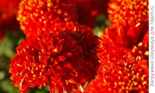Хризантемы крупноцветковые смесь окрасок ранние сорта выращивание
