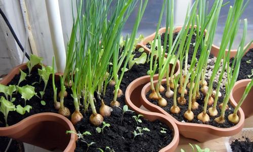 Как выращивать овощи в горшках дома