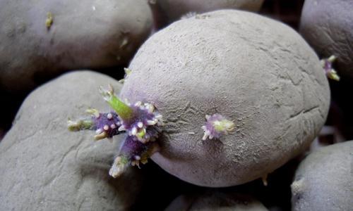 Проращивание картофеля перед посадкой когда и как правильно прорастить