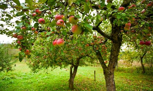 Ущерб спилено дерево плодовое яблоня
