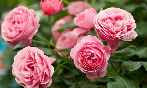 Посадка и уход за розами в саду: фото и видео, как правильно сажать розы