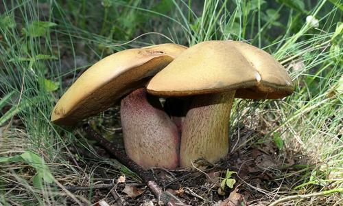 Первые признаки отравления грибами и через какое