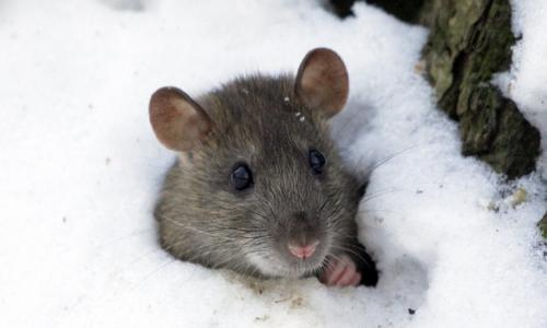 Какое самое лучшее и эффективное средство от крыс