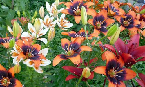 Размножение лилий как размножить цветы бульбочками черенками и листьями Как рассадить в открытый грунт