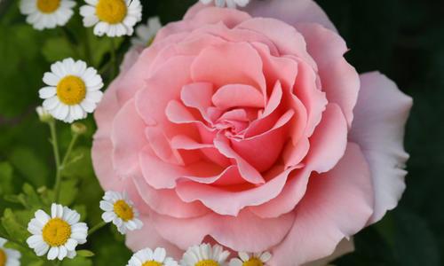 Розы в цветниках: самые эффектные сочетания