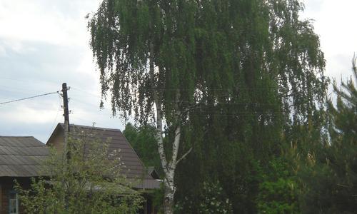 Сажать ли деревья из леса на дачном участке: плюсы и минусы