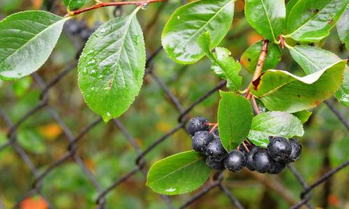 Черноплодная рябина полезные свойства ягоды, применение, рецепты и противопоказания!