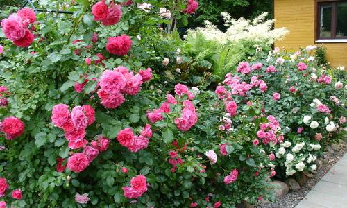 Сроки посадки роз