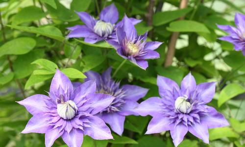 Вс о клематисах цветы