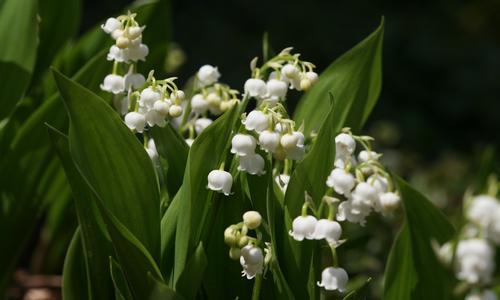 Садовый цветок похожий на ландыш