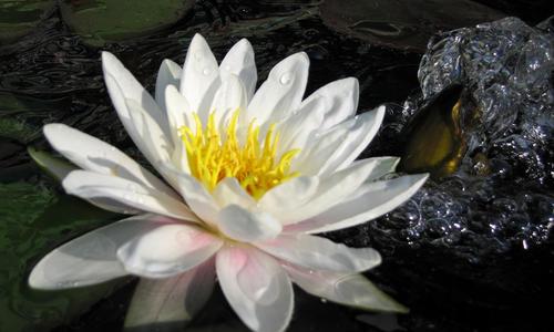 Нимфея (кувшинка): выбор сорта и выращивание. Фото