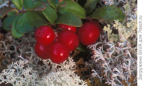 Брусника садовая, посадка и уход Брусника садовая: описание и сорта, посадка, уход и размножение