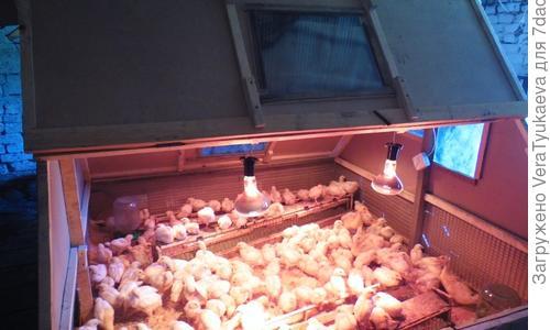Как построить домик для цыплят своими руками