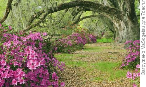 Азалия японская: цветение, посадка, как укрыть на зиму и фото
