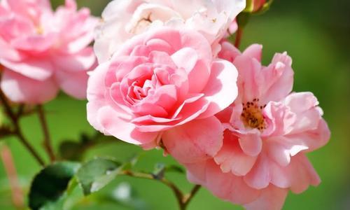 Спроси эксперта посадка и пересадка роз