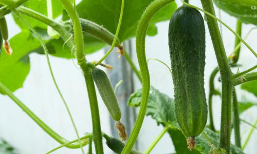Как выращивать помидоры на подоконнике круглый год?