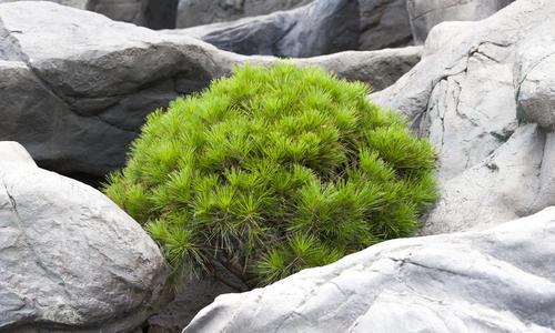 Голубые хвойные растения