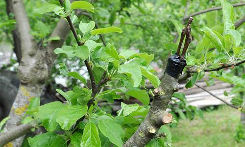 Окулировка прививка плодовых деревьев как прививать зелными черенками