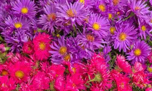 Астра время цветения