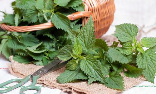 Лечебные свойства крапивы и ее применение