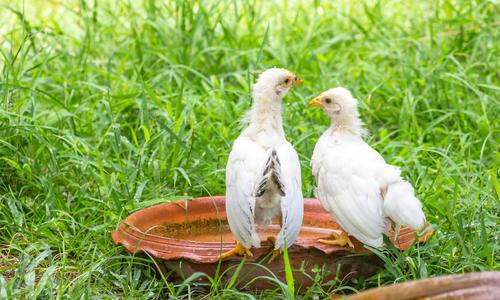 Сколько воды выпивает курица в день