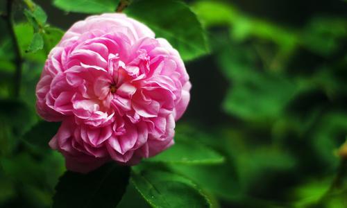 ae47d3 Ароматные розы – лучшие сорта для вашего сада