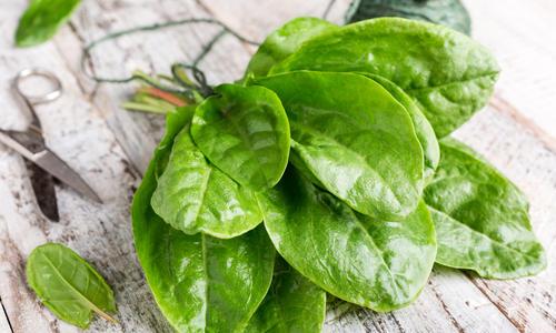 Щавель: фото на грядке - как выглядит зелень (листья), где и сколько времени растет, это овощ или трава, однолетний или многолетний и к какому семейству относится{q}