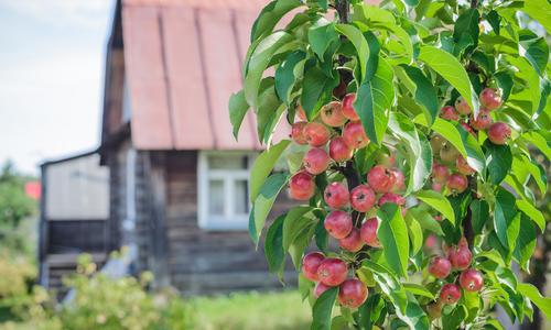 Колоновидные яблони для сибири сорта отзывы