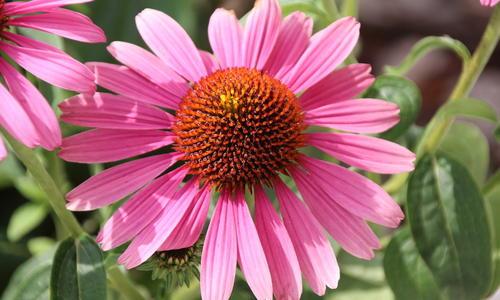 Эхинацея — посадка, уход. Сорта и болезни эхинацеи    Эхинацея описание растения