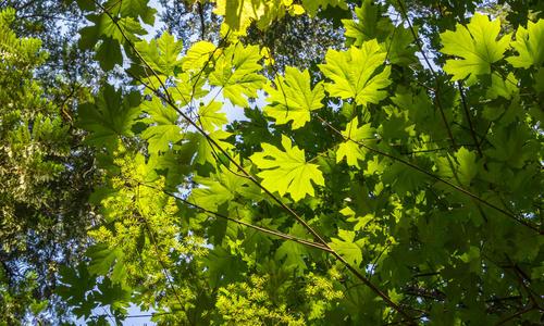 Описание дерева клен для гербария